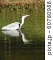 稲毛海浜公園の池のアオサギ 60780986