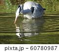 稲毛海浜公園の池のアオサギ 60780987