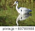稲毛海浜公園の池のアオサギ 60780988