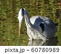 稲毛海浜公園の池のアオサギ 60780989