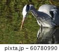 稲毛海浜公園の池のアオサギ 60780990