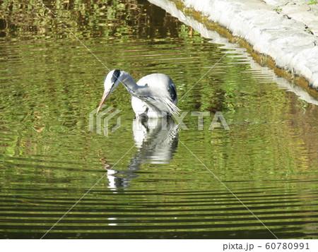 稲毛海浜公園の池のアオサギ 60780991