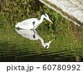 稲毛海浜公園の池のアオサギ 60780992