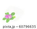 花・マラコイデス・ピンク・サクラ草・余白大 60796635