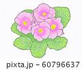 花・プリムラ・ジュリアン・サクラ草・ピンク 60796637