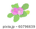 花・マラコイデス・ピンク・サクラ草 60796639