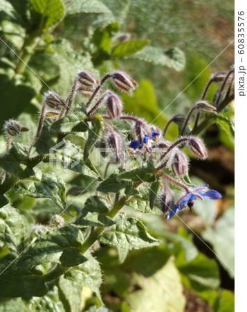 青い星型の花はボリジの花 60835576
