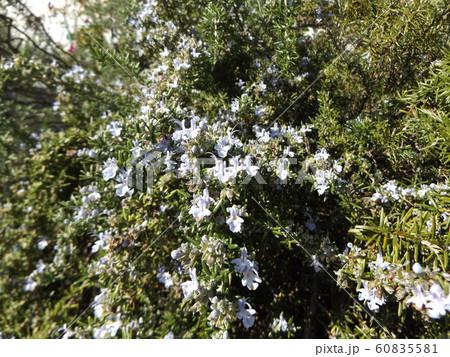 滝のように枝垂れて咲くローズマリーの紫色の花 60835581