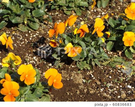 三陽メデアフラワーミュージアムのオレンジ色のビヲラ花 60836683