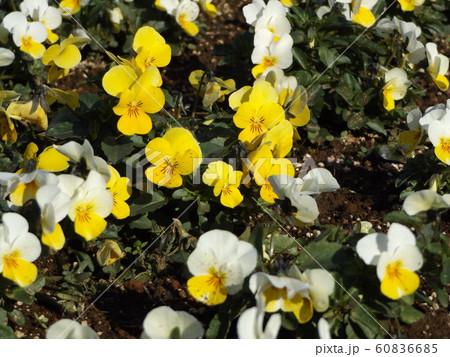 三陽メデアフラワーミュージアムの黄色と白色のビヲラ花 60836685
