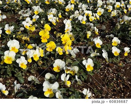 三陽メデアフラワーミュージアムの黄色と白色のビヲラ花 60836687