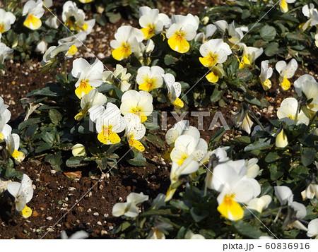 三陽メデアフラワーミュージアムの白色黄色咲き分けのビヲラ花 60836916