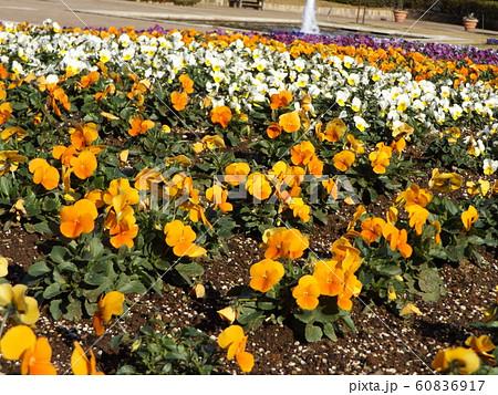 三陽メデアフラワーミュージアムのオレンジ色と白色のビヲラ花 60836917