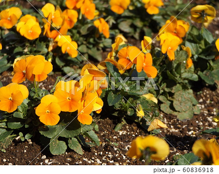 三陽メデアフラワーミュージアムのオレンジ白色のビヲラ花 60836918