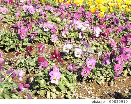 三陽メデアフラワーミュージアムの桃色と白色と赤色のビヲラ花 60836919