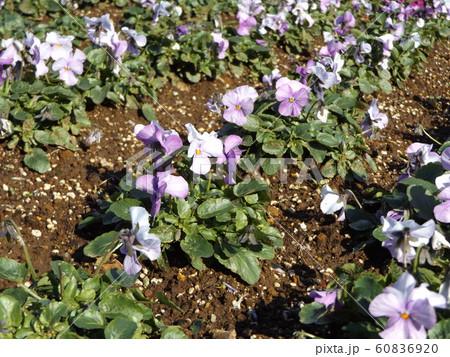 三陽メデアフラワーミュージアムの紫色と白色咲き分けのビヲラ花 60836920