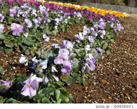 三陽メデアフラワーミュージアムの紫色と白色咲き分けのビヲラ花 60836921