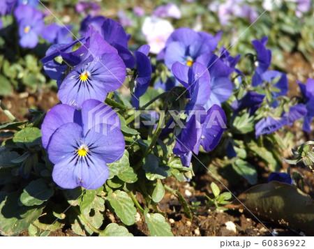 三陽メデアフラワーミュージアムの青色のビヲラ花 60836922