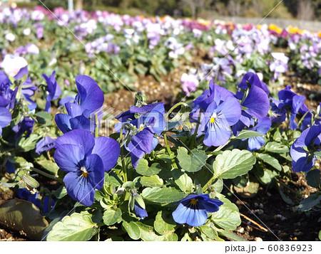 三陽メデアフラワーミュージアムの青色のビヲラ花 60836923