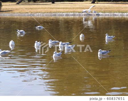 稲毛海浜公園の池に来た冬の渡り鳥ユリカモメ 60837651