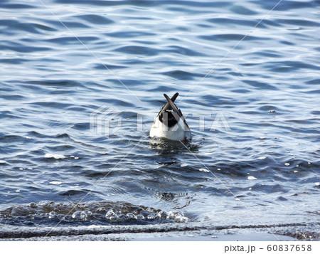 検見川浜の海岸で餌を採るヒドリガモ 60837658