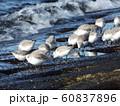 検見川浜のミユビシギ 60837896