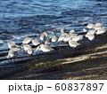 検見川浜のミユビシギ 60837897