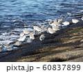 検見川浜のミユビシギ 60837899