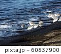 検見川浜のミユビシギ 60837900