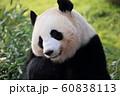 ジャイアントパンダ 60838113