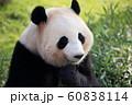 ジャイアントパンダ 60838114