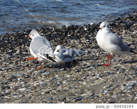 検見川浜の磯浜で休憩中の冬の渡り鳥ユリカモメ 60838264