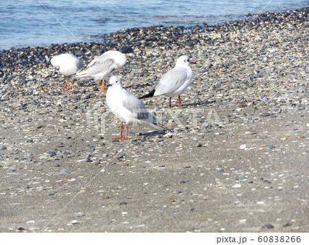 検見川浜の磯浜で休憩中の冬の渡り鳥ユリカモメ 60838266