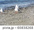 検見川浜の磯浜で休憩中の冬の渡り鳥ユリカモメ 60838268