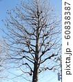 冬になり実だけを残したアメリカフウの大木 60838387