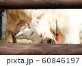 かわいいヤギ 60846197