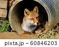 雨宿りする狐 60846203