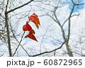 桜の紅葉 60872965