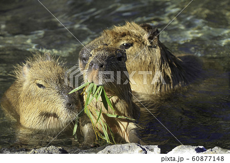 好物の笹を食み、湯につかるカピバラ 60877148