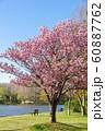 満開の桜 みさと公園 60887762