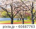 満開の桜 みさと公園 60887763