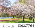 満開の桜 みさと公園 60887764