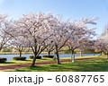 満開の桜 みさと公園 60887765