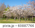 満開の桜 みさと公園 60887766