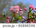 花海棠 60896506