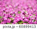 Periwinkle Flower Field at King Rama 9 Park 60899413