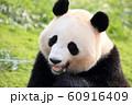 ジャイアントパンダ 60916409