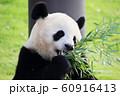 ジャイアントパンダ 60916413