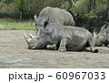 シロサイ 動物園 飼育 繁殖 60967033