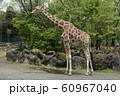 キリン 動物園 飼育 繁殖 60967040